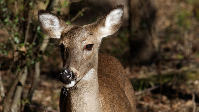 a deer was caught gnawing on human remains and the end is nigh