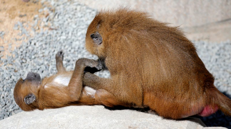 Baboons at the Vicennes Zoo (AP)