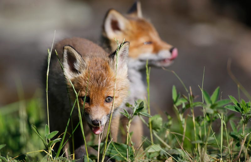 A pair of young Belarusian foxes.