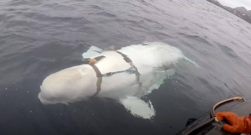 Illustration for article titled Pescadores noruegos encuentran una ballena domesticada portando un extraño arnés militar ruso