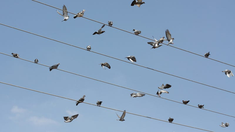 Illustration for article titled Why do birds collide with power lines?
