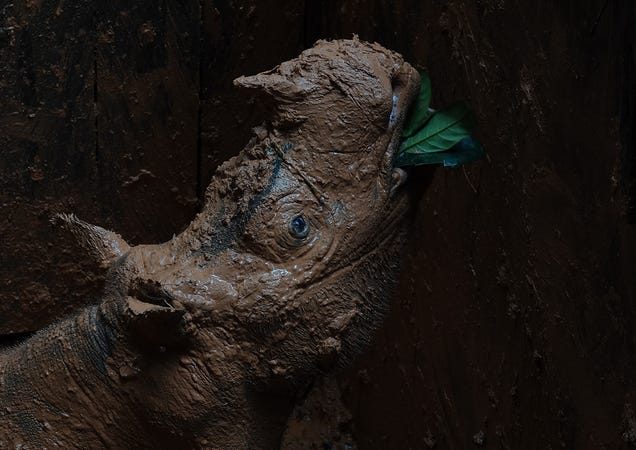 Scientists Just Rescued One of the Last Sumatran Rhinos to Save the Entire Species