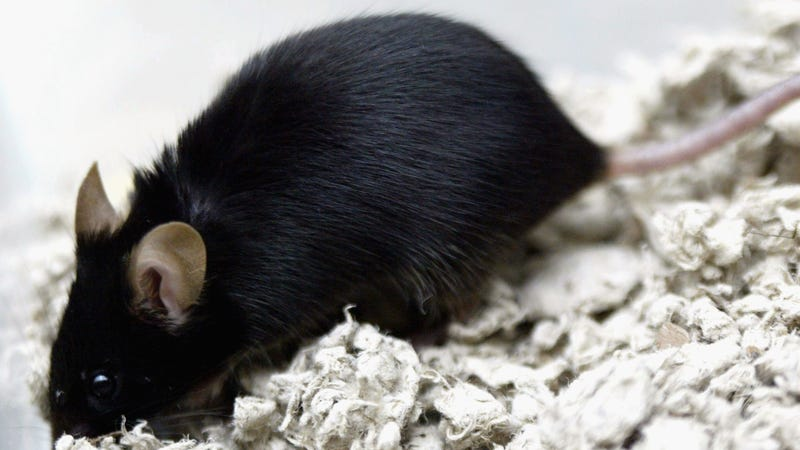 An actual lab mouse.