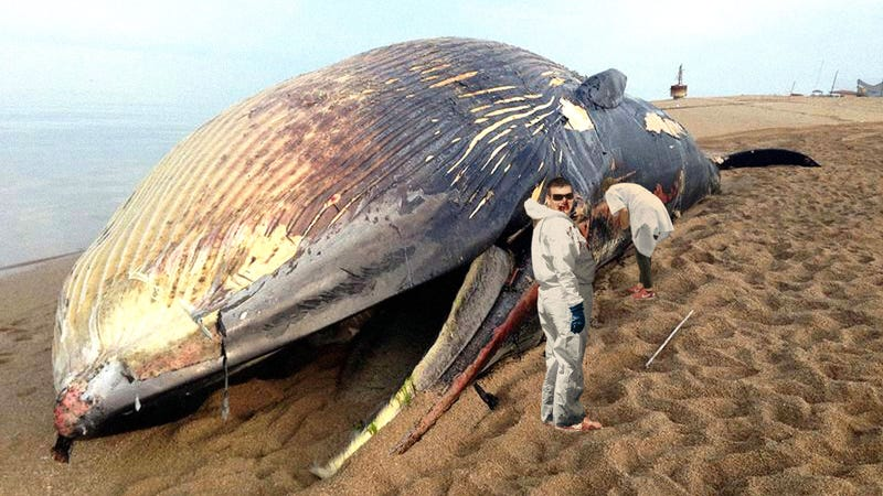 Illustration for article titled Nature Is Beautiful: A New Study Has Shown That When A Blue Whale Dies Its Body Can Feed Scientists For 3 Whole Years