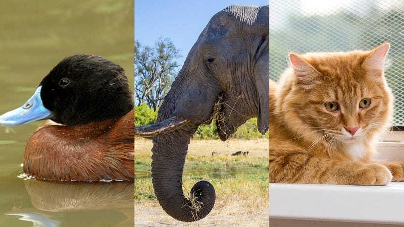 A duck, an elephant, and a cat.