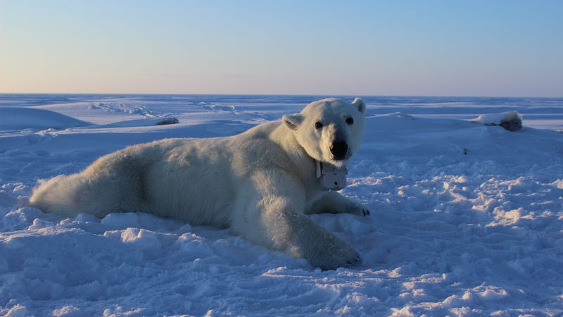 Polar bear wearing a GPS video-camera collar on the sea ice of the Beaufort Sea. Photo Courtesy: Anthony Pagano, USGS