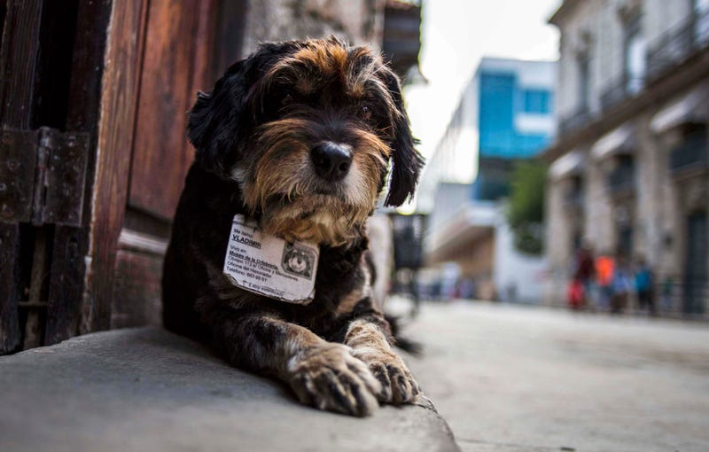 Illustration for article titled Official Cuban Street Dog Has A License To Be Adorable