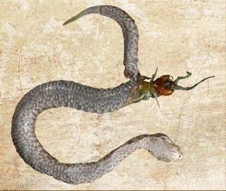 Illustration for article titled This Snake's Last Meal Tried To Eat Its Way Out