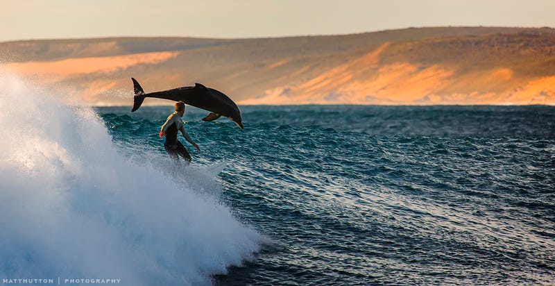 Illustration for article titled Human and dolphin surfing together—and other beautiful images from Oz