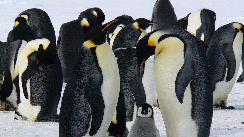 Esta pareja de pingüinos machos está incubando un huevo abandonado en Berlín