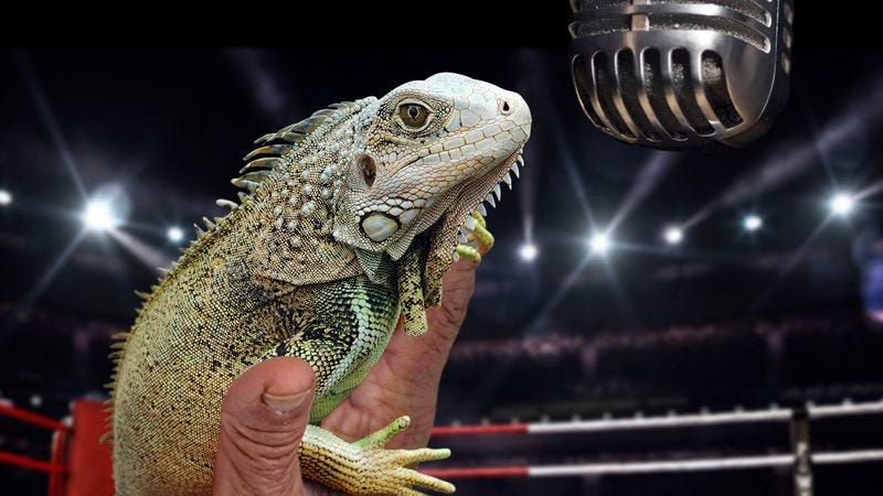 Illustration for article titled Farewell To A Legend: The Iguana Who Shouts 'Let's Get Ready To Rumble!' Before Every Boxing Match Has Died