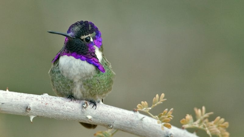 A Costa's hummingbird.