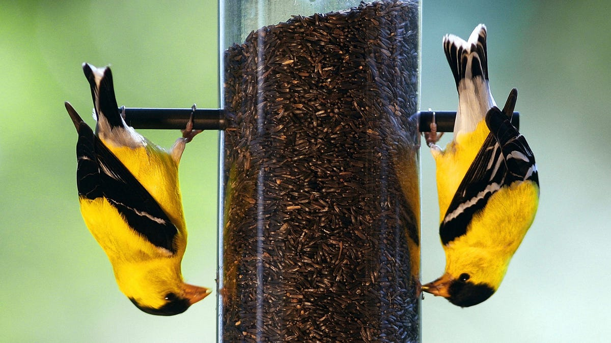 feeder goldfinches the yellow how goldfinch attract backyard gardening your yard bird american to dengarden