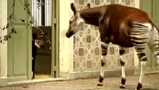 Illustration for article titled Watch A Baby Okapi Take Its First Steps