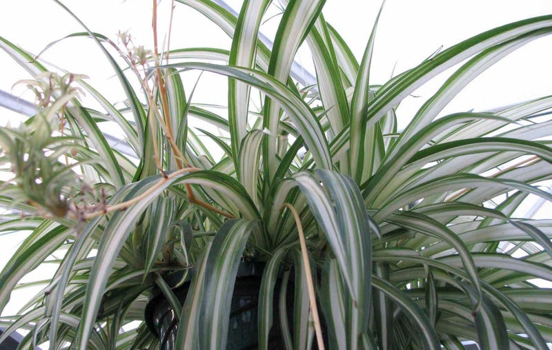 "Photo: AP (For all you curious millennials reading this, it is a ""spider plant."")"