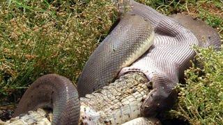 Illustration for article titled Négy órán át harcolt a kígyó a krokodillal