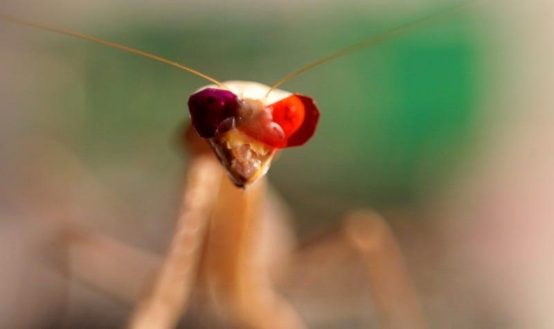 """La mantis con """"sus gafas"""". Universidad de Newcastle"""