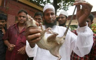 Illustration for article titled Bangladeshi Farmer Slaughters 83,000 Rats, and All He Got Was a Crappy 14-Inch TV