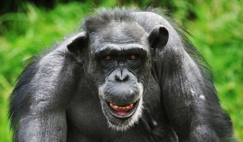 El extraño caso de la manada de chimpancés que asesinó a su líder cuando se volvió totalitario