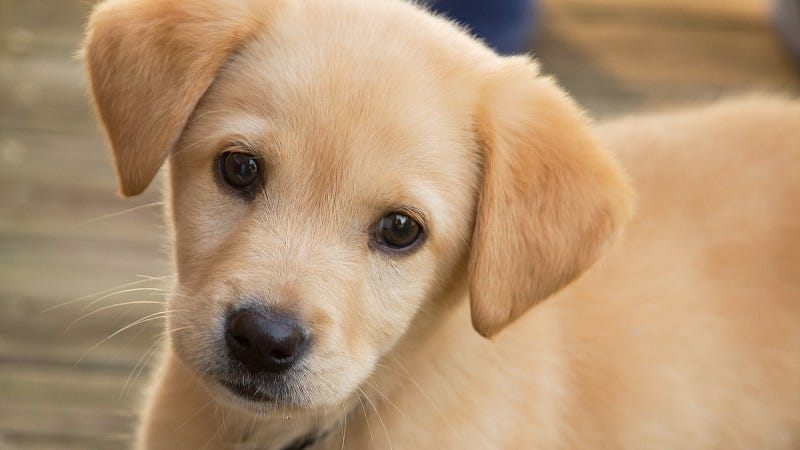 Puppies Love Your Baby Talk, but Dogs Don't