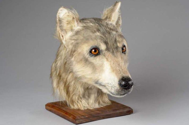 Illustration for article titled Reconstruyen la imagen de un perro de hace más de 4.000 años. Sigue siendo un buen chico