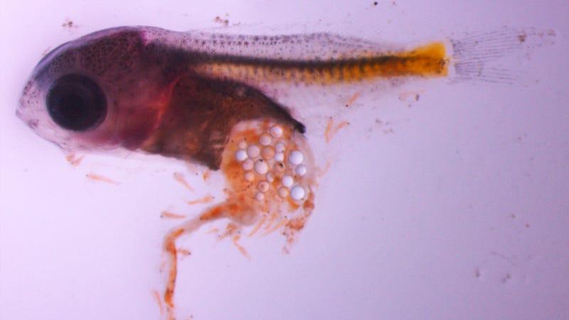 Damselfish larvae that has ingested microplastic particles (Image: Oona M. Lönnstedt)