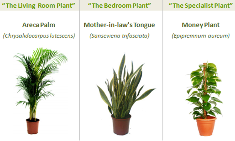 living room plant.  Three Plants that Give You Better Indoor Air