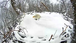 Illustration for article titled Watch This Heroic Bald Eagle Keep Her Eggs Warm In A Snow-Covered Nest