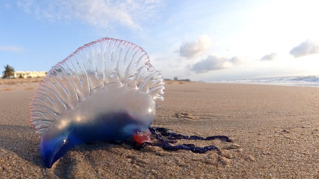 Science Reveals the Right Way to Treat a Man O' War Jelly Sting