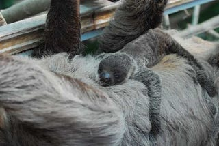 Illustration for article titled Robbant a cukiságbomba: kislajhár született az állatkertben