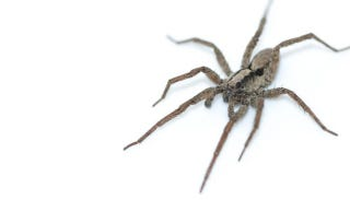 """Illustration for article titled There's A Special Kind Of Wolf Spider That """"Purrs"""""""