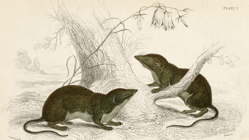 Illustration for article titled The Chinese Northern Tree Shrew can beat you in a hot pepper-eating contest