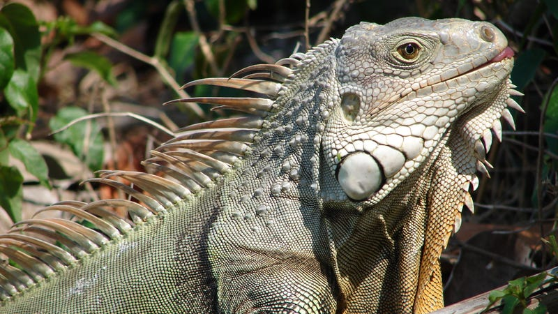 An iguana seen in Bahia Honda, Florida Keys.