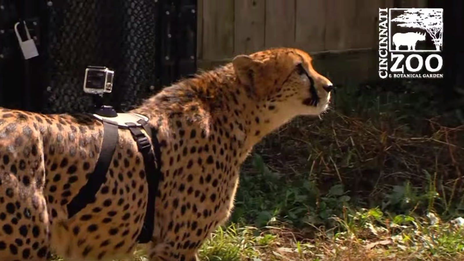 Watch This Cheetah Run With a GoPro On Its Back