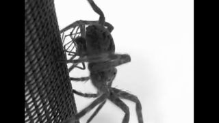 Illustration for article titled Male Spiders Spontaneously Die After Sex Because MISANDRY