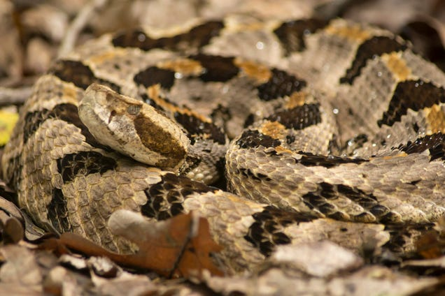 They re Gonna Make a Rattlesnake Island in Massachusetts--Sounds Unsafe