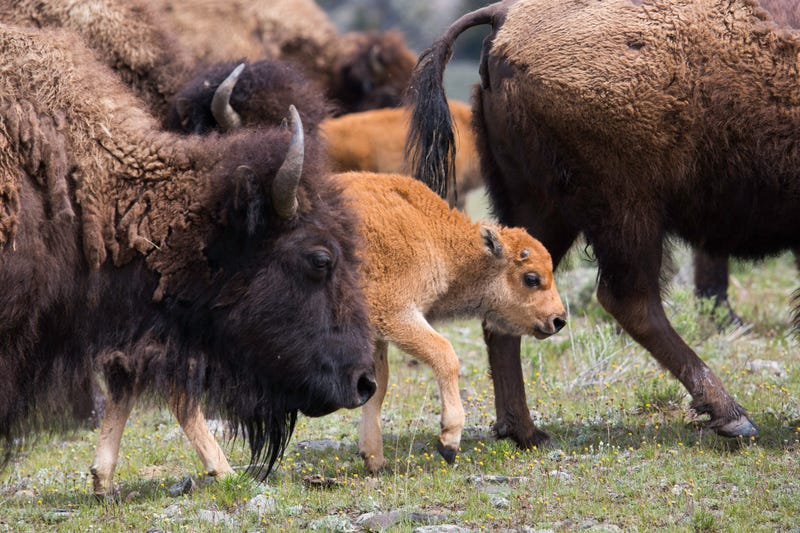 Illustration for article titled Baby Bison Sticks Out Amongst the Herd