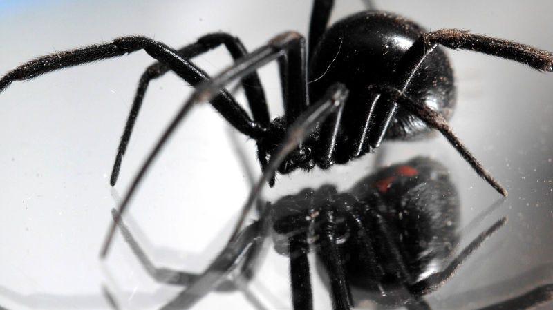 Illustration for article titled Prende fuego a su casa tratando de matar una araña viuda negra con un lanzallamas casero