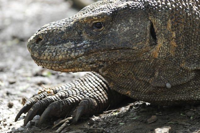 Komodo Dragons Are Lurching Toward Extinction