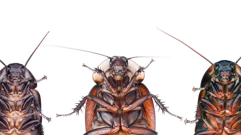Las cucarachas han evolucionado para rechazar el veneno