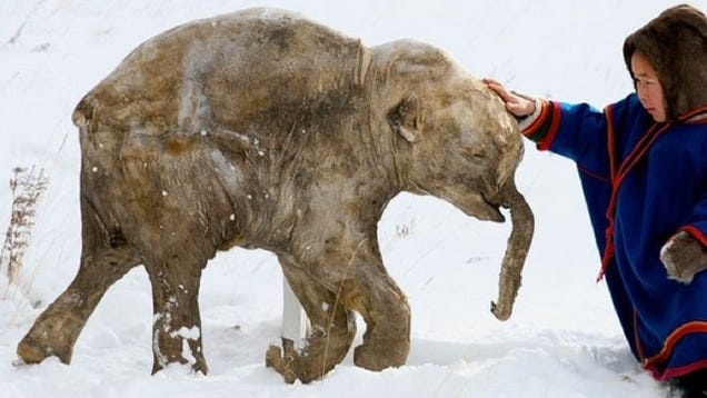 Woolly Mammoth alive and caught on tape (maybe)