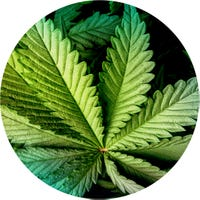'The Onion' Endorses Legal Marijuana 2