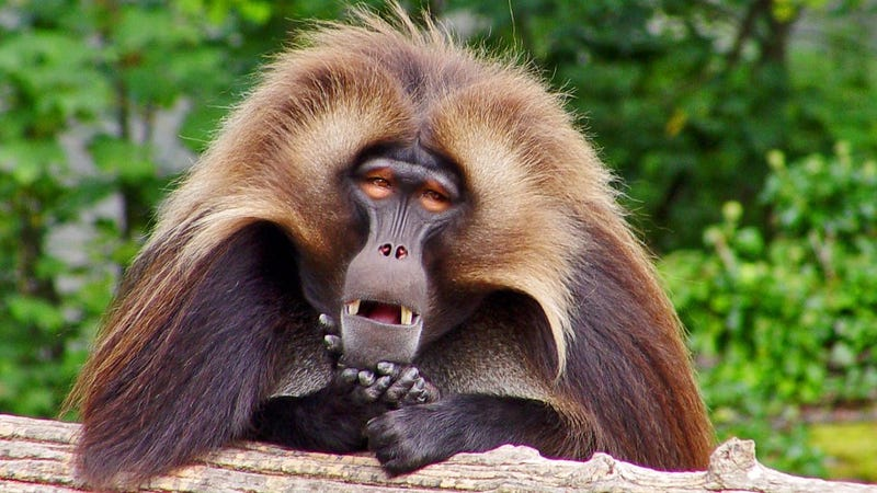 Illustration for article titled Gelada monkey's yodel-like gurgling could reveal origins of human speech