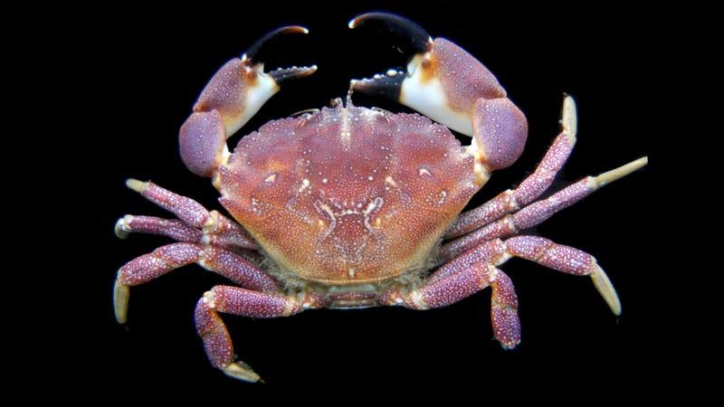 Purple stone crab (Photo; Nahuel Farias/Flickr)