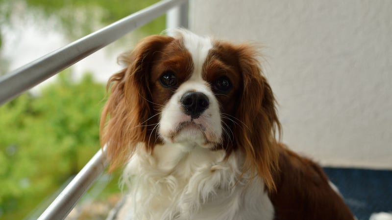 Not the specific Cavalier King Charles Spaniel in question