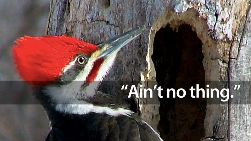 Illustration for article titled Why Woodpeckers Don't Get Brain Damage From Pecking All Day