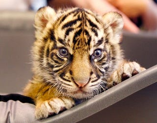 Illustration for article titled This Baby Tigress Demands Your Attention