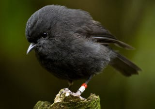 How Saving an Endangered Bird Almost Doomed It Again