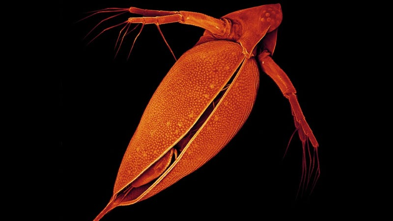 Illustration for article titled Tiny water flea has the biggest genome ever sequenced