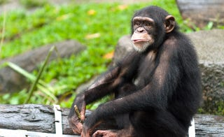 Illustration for article titled Chimps Are Surprisingly Picky When It Comes To Music